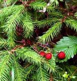 深通配森林红色的草莓 免版税库存照片