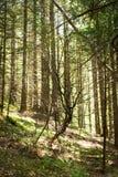 深高地森林惊人的早晨夏天风景  库存图片