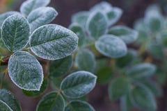 深绿结冰的玫瑰丛离开背景 库存照片