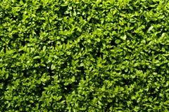 深绿树篱 库存图片