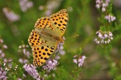 深绿贝母蝴蝶坐在森林昆虫的石南花与橙色翼 免版税库存照片