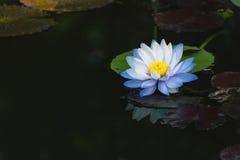深刻的大海表面上的美丽的浅兰的莲花 库存图片