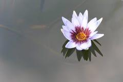 深刻的大海表面上的美丽的白莲教花 库存图片