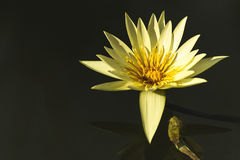 深刻的大海表面上的美丽的黄色莲花 库存照片