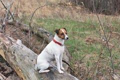 深刻的小狗沉思的杰克罗素 库存图片