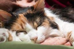 深刻的猫睡眠 免版税库存照片