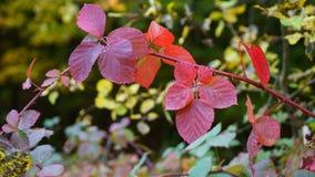 深紫红色红色叶子在秋天 库存照片