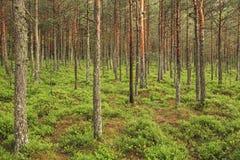 深绿色杉木 图库摄影