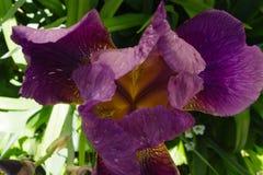 深紫色的虹膜在树荫下 免版税库存照片