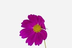 深紫色的bipinnatus 免版税库存照片