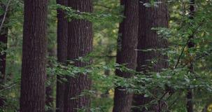 深绿色老结构树 股票录像