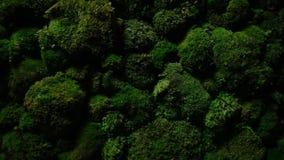 深绿青苔在石头增长 影视素材