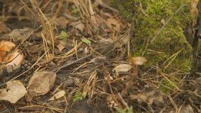 深绿青苔,烘干叶子和针,在他们中的赤松蘑菇 影视素材