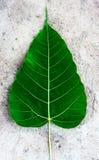 深绿Bodhi或菩提树叶子 库存照片