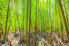深绿Nypa棕榈 免版税库存图片