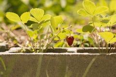 从混凝土的草莓 库存图片