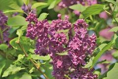 10混合开花的分行包含eps丁香透明模式的对象 免版税库存图片