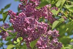 10混合开花的分行包含eps丁香透明模式的对象 图库摄影
