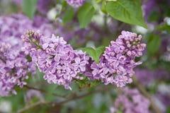 10混合开花的分行包含eps丁香透明模式的对象 免版税库存照片