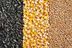混合玉米,麦子,向日葵种子 图库摄影