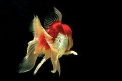 混合白色金鱼行动迷离 免版税库存图片