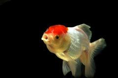 混合白色金鱼,行动迷离 免版税库存图片