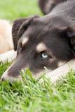 混合的品种狗 免版税库存照片