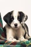 混合达尔马提亚狗和博德牧羊犬 免版税库存照片