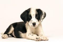 混合达尔马提亚狗小狗 免版税库存图片