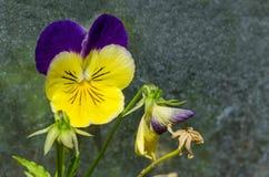 混合紫色和黄色颜色蝴蝶花、中提琴altaica或者狗紫罗兰色花在沼地与黄色花粉 免版税库存照片