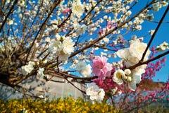 混和的开花樱桃颜色 库存照片