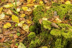 混在一起在一个老树桩在站立在地面上的秋天森林里报道用下落的秋叶 免版税图库摄影