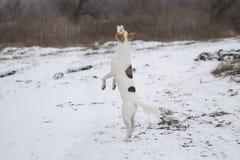 混杂品种在享用与第一雪的后腿的狗跳舞 免版税库存照片