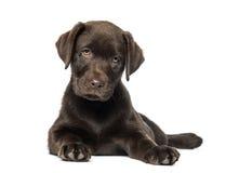 混杂品种拉布拉多&多壳的小狗(9个星期年纪) 免版税图库摄影