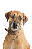 混杂品种狗 免版税图库摄影