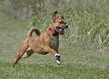 混杂的品种拳击手Rhodesian Ridgeback混合了品种狗 库存图片