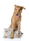 混杂的品种狗一只波斯猫 免版税库存照片