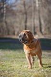 混杂的品种狗本质上 免版税库存照片