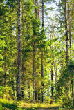 混杂的森林在夏天 库存图片