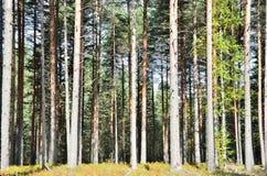 混杂的森林由杉树,卡累利阿控制了 免版税库存图片