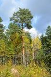 混杂的森林由杉树,卡累利阿控制了 库存照片