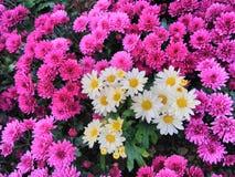 混杂的紫色菊花雏菊花背景 免版税图库摄影