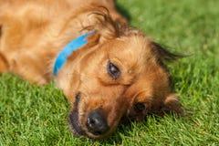 混杂的西班牙猎狗尾随西班牙猎狗 库存照片