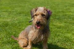 混杂的西班牙猎狗尾随西班牙猎狗 免版税库存图片