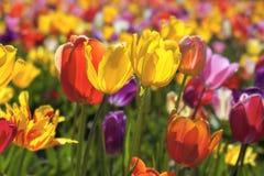 混杂的颜色郁金香的领域在绽放背景中 免版税库存图片