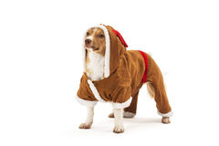 混杂的养殖的狗画象  免版税图库摄影