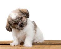 混淆的逗人喜爱的小狗 免版税库存照片