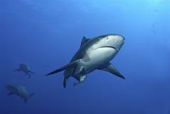 混淆的鲨鱼 免版税库存照片