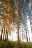 清早光的有薄雾的杉木森林 免版税库存照片
