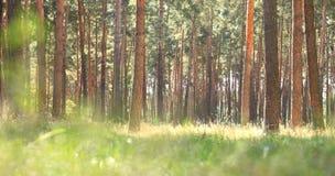 清早在杉木森林小阳春在晴朗的天气的具球果森林里在早晨 免版税库存图片